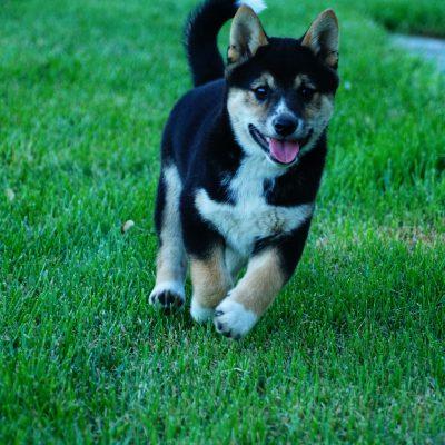 Sparky - male Shiba Inu puppy for sale near Goshen, Indiana