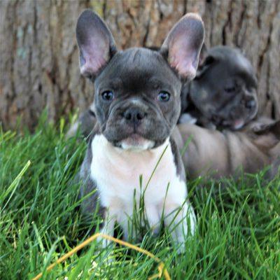 Alex - CPR French Bulldog puppy for sale near Gordonville, Pennsylvania
