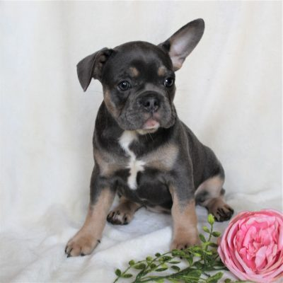 Allison - CPR French Bulldog puppie for sale near Gordonville, Pennsylvania