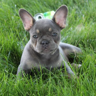 Ashley - CPR French Bulldog pup for sale in Gordonville, Pennsylvania