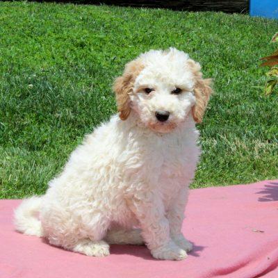 Beauty - Mini Bernedoodle female puppy for sale in Nottingham, Pennsylvania