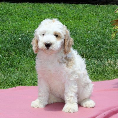 Brittany - Mini Bernedoodle female pup for sale at Nottingham, Pennsylvania