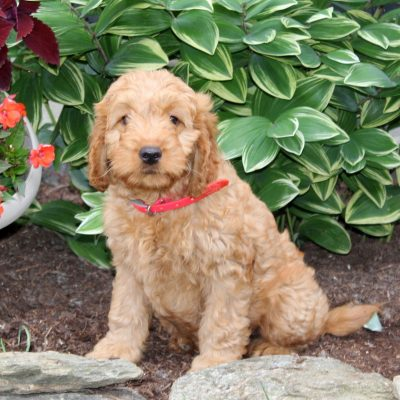 Candace - f1 Mini Goldendoodle puppy for sale at Holtwood, Pennsylvania