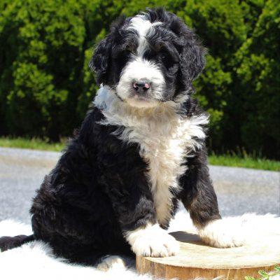Casey - Standard Bernedoodle pup for sale near Ephrata, Pennsylvania