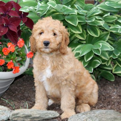 Chip - f1 Mini Goldendoodle male pup for sale near Holtwood, Pennsylvania