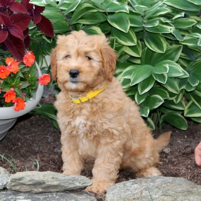 Cleo - f1 Mini Goldendoodle puppie for sale at Holtwood, Pennsylvania