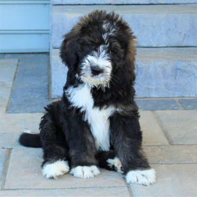 Coby - male Standard Bernedoodle pupper for sale in Ephrata, Pennsylvania