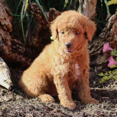 Cocoa - f1b Mini Goldendoodle female puppy for sale in Newmanstown, Pennsylvania