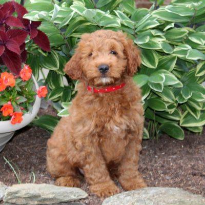 Conrad - f1 Mini Goldendoodle male doggie for sale near Holtwood, Pennsylvania