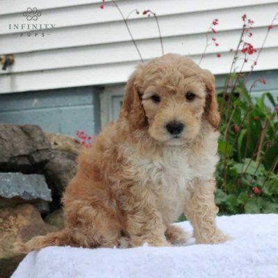 Cooper - f1b Standard Goldendoodle female puppy for sale in Manheim, Pennsylvania