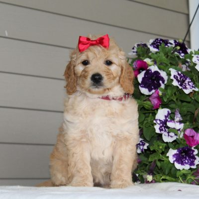Daisy - F1 Mini Goldendoodle female pup for sale at Airville, Pennsylvania