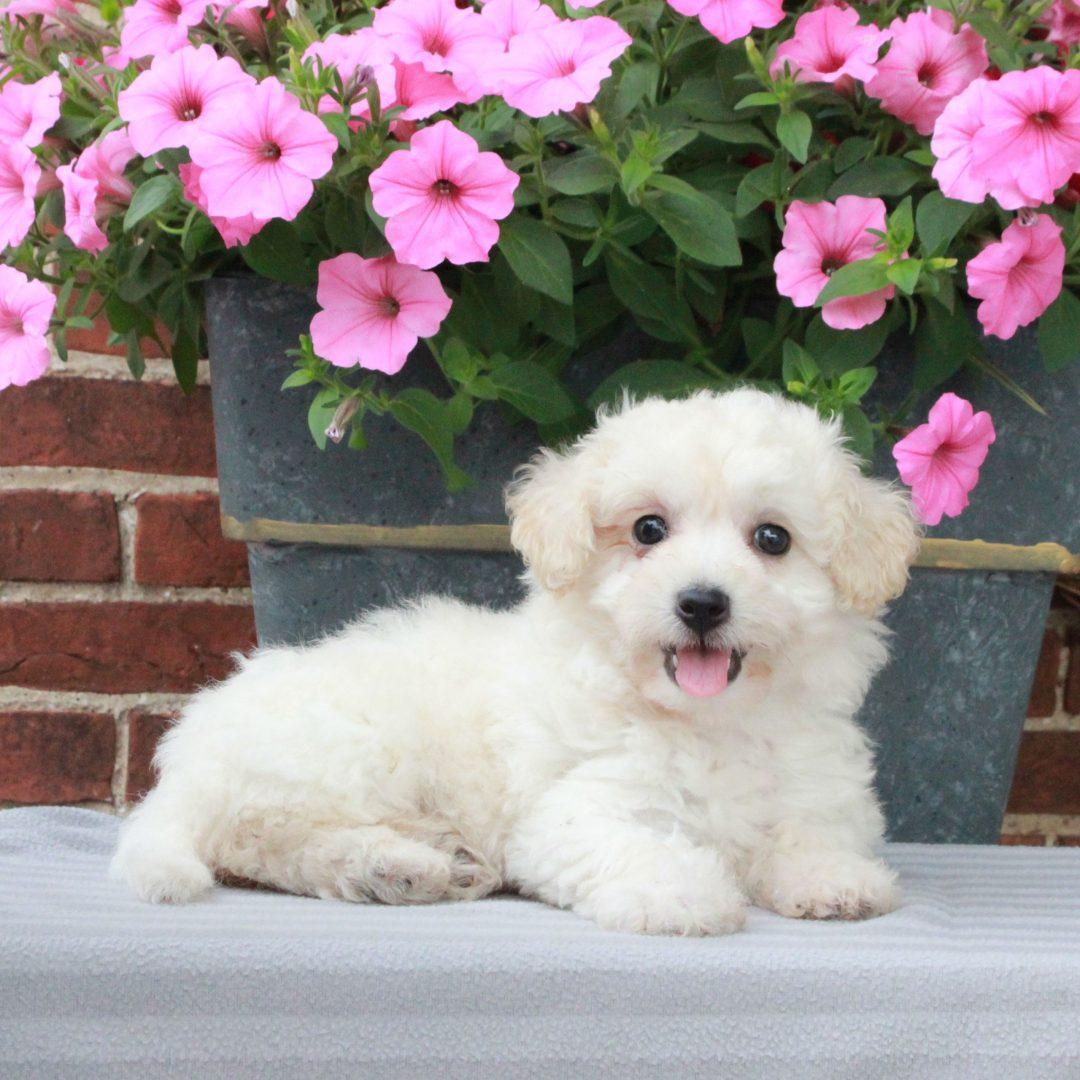 Daisy - F1 Cavachon puppy for sale in Gordonville, Pennsylvania