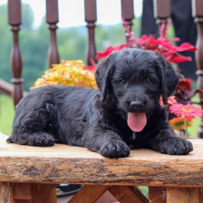 Damian - f1 Mini Labradoodle male puppie for sale in Myerstown, Pennsylvania