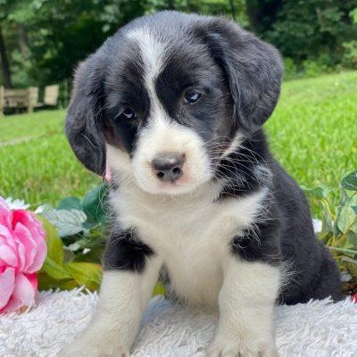 Darren - F1 Corgipoo male puppie for sale in New Holland, Pennsylvania