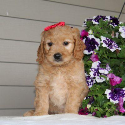 Dawn - F1 Mini Goldendoodle puppie for sale in Airville, Pennsylvania