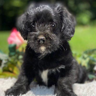 Debby - female F1 Corgipoo pup for sale at New Holland, Pennsylvania