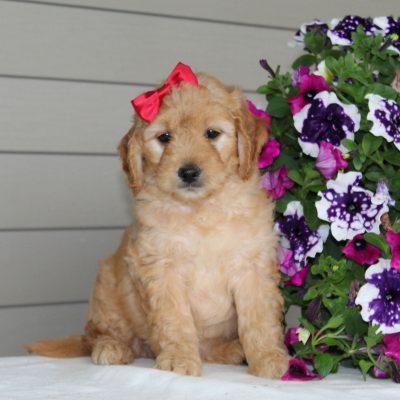Debbie - female F1 Mini Goldendoodle doggie for sale at Airville, Pennsylvania