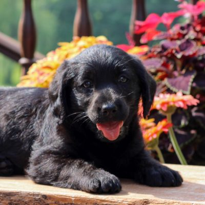 Demi - f1 Mini Labradoodle puppy for sale in Myerstown, Pennsylvania
