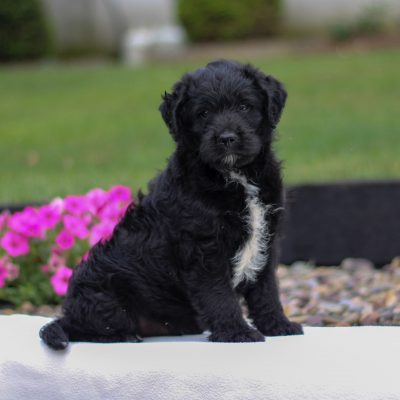 Dillon - male f1 Mini Labradoodle pup for sale at Myerstown, Pennsylvania