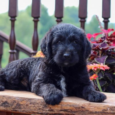 Dominic - f1 Mini Labradoodle male doggie for sale at Myerstown, Pennsylvania
