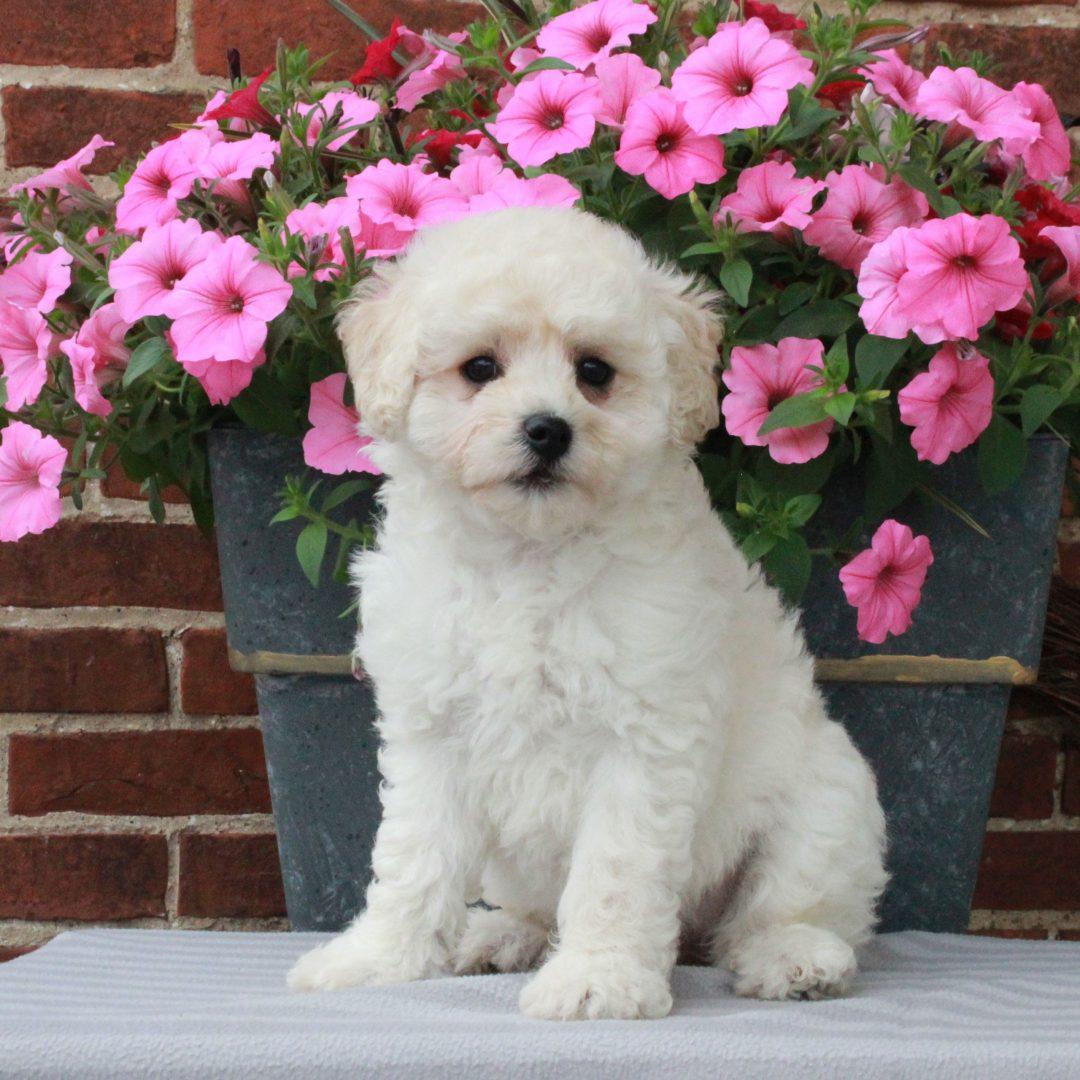 Dora - F1 Bichpoo female pup for sale at Gordonville, Pennsylvania