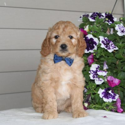 Dustin - male F1 Mini Goldendoodle pupper for sale at Airville, Pennsylvania