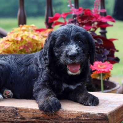 Dustin - f1 Mini Labradoodle male puppy for sale at Myerstown, Pennsylvania