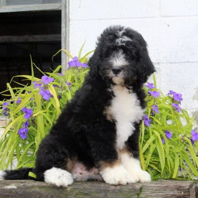 Dusty - F1 Standard Bernedoodle male puppy for sale near Notingham, Indiana