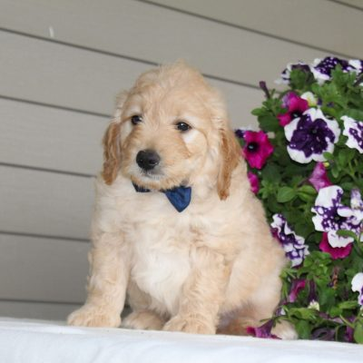Dwayne - F1 Mini Goldendoodle male puppie for sale near Airville, Pennsylvania