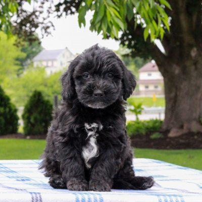 Eddie - Mini Aussiedoodle Red Heeler Mix male puppie for sale in Gap, Pennsylvania
