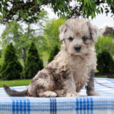 Ellie - female Mini Aussiedoodle Red Heeler Mix pup for sale at Gap, Pennsylvania