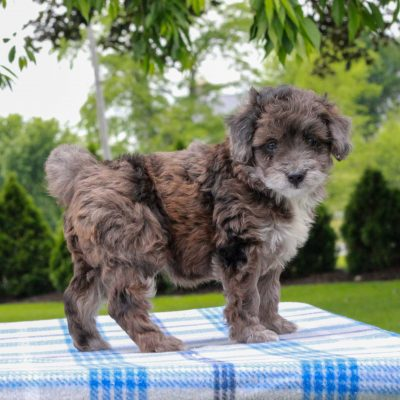 Emily - Mini Aussiedoodle Red Heeler Mix female puppy for sale in Gap, Pennsylvania