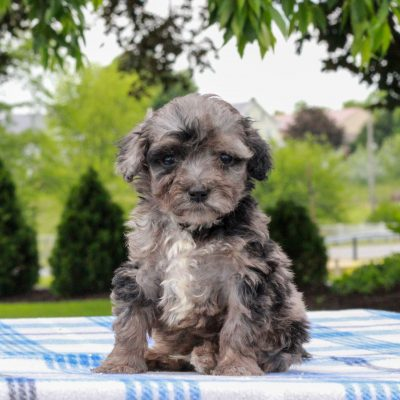 Everest - pup Mini Aussiedoodle Red Heeler Mix for sale at Gap, Pennsylvania