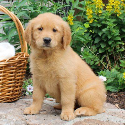 Baby - ACA Golden Retriever puppie for sale in Narvon, Pennsylvania