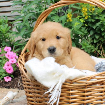 Bailey - male ACA Golden Retriever doggie for sale at Narvon, Pennsylvania