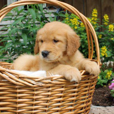 Bambi - ACA Golden Retriever puppy for sale near Narvon, Pennsylvania