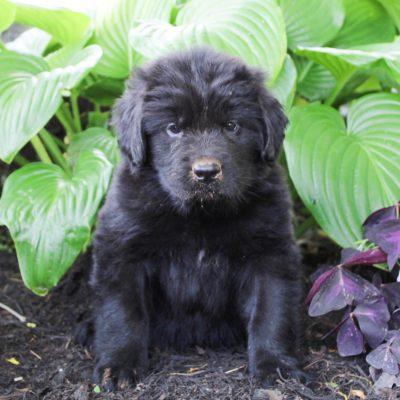 Demi - AKC Newfoundland doggie for sale near Gap, Pennsylvania