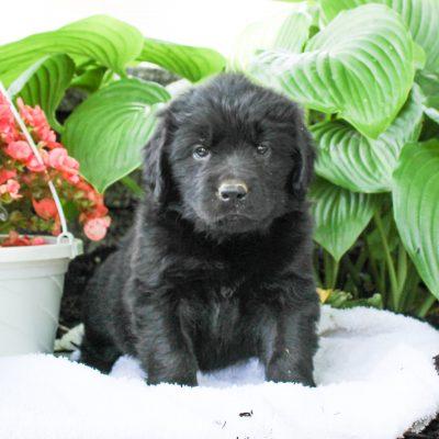 Destiny - AKC Newfoundland puppy for sale in Gap, Pennsylvania