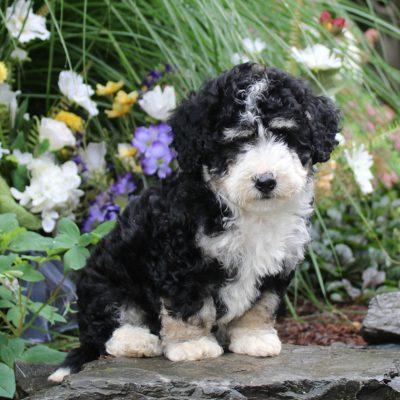 Destiny - F1b Mini Bernedoodle female pup for sale at Lititz, Pennsylvania