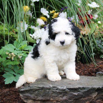 Dotty - F1b Mini Bernedoodle doggie for sale at Lititz, Pennsylvania