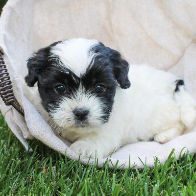 Faith - F1 Shichon female doggie for sale at Bird-in-Hand, Pennsylvania