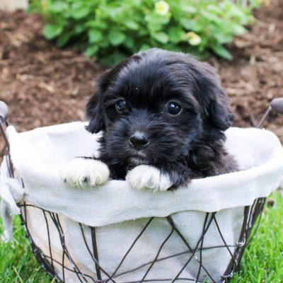 Faye - F1 Shichon doggie for sale in Bird-in-Hand, Pennsylvania