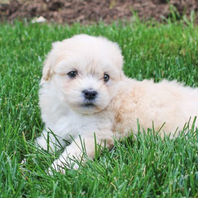 Felicity - F1 Shichon pup for sale in Bird-in-Hand, Pennsylvania