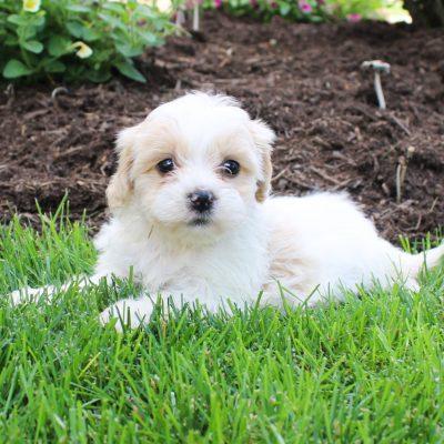 Flower - F1 Shichon female puppy for sale near Bird-in-Hand, Pennsylvania