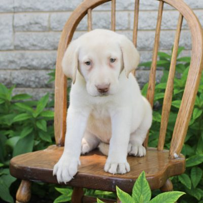 Heidi - puppy ACA Labrador retriever for sale in Gordonville, Pennsylvania