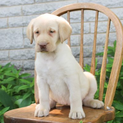Honey - ACA Labrador retriever pup for sale at Gordonville, Pennsylvania