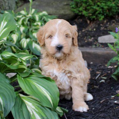 Zoey - f1bb Mini Goldendoodle