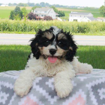 Faith - F1 Cavachon doggie for sale near Gordonville, Pennsylvania