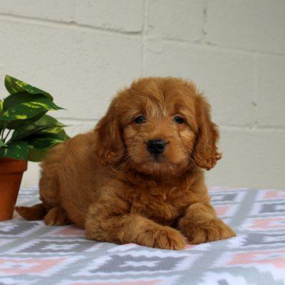 Felicity - Mini Goldendoodle male pupper for sale in Gap, Pennsylvania