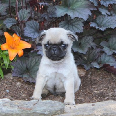 Freddy - AKC Pug male doggie for sale in Holtwood, Pennsylvania